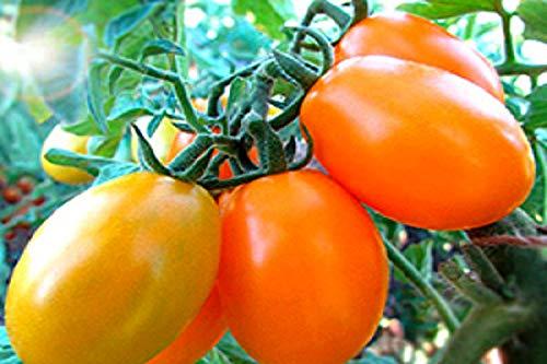 Tomate Sibirische Gelb - 10 Samen