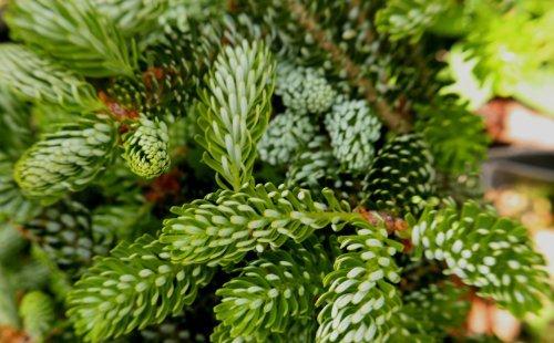 Silverlock Korean Fir -Like a Flocked Christmas Tree 2 - Year Live Plant