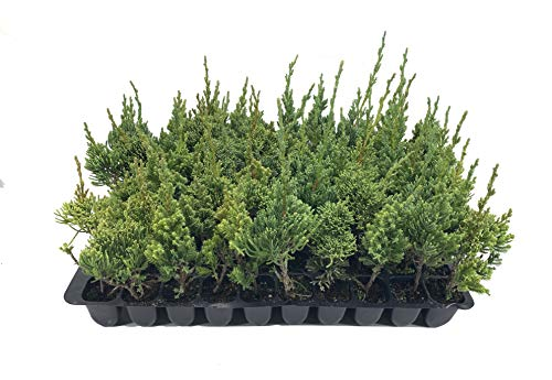 Robusta Green Juniper - 40 Live Trees - Juniperus Chinensis