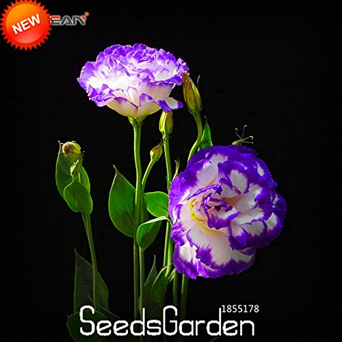 Hot Sale 7 Couleurs Eustoma Graines Plantes vivaces à fleurs en pot Fleurs Graines Lisianthus Seeds -! 100 PCS, # 6TH1R1