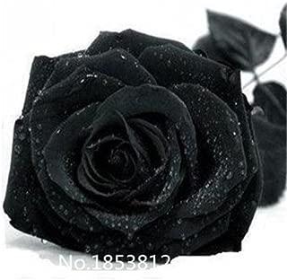 black rose bushes for sale