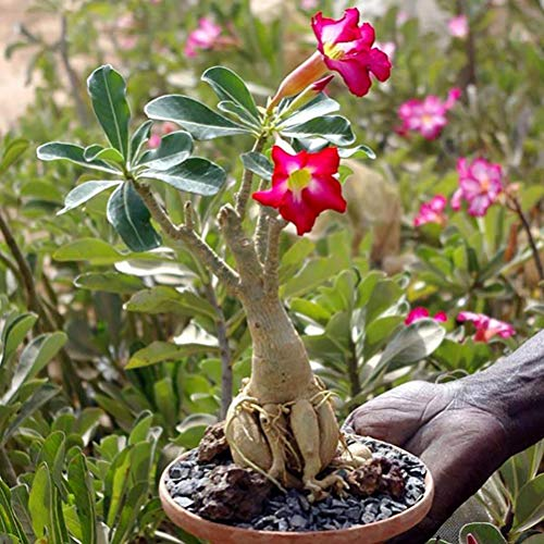 Végétaux d Ailleurs Baobab Chacal Wüstenrose Setzling 1-2 Jahre