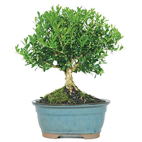 Brussel's Live Harland Boxwood Outdoor Bonsai Tree - 3 Years Old; 6' to 8' Tall with Decorative Container