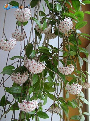 50 Pcs / Sac, Hoya graines, les plantes en pot Diy, Indoor / Outdoor Pot Seed Germination taux de 95% Couleurs mélangées