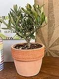 Zoom IMG-1 olivea bonsai olivo orcio in