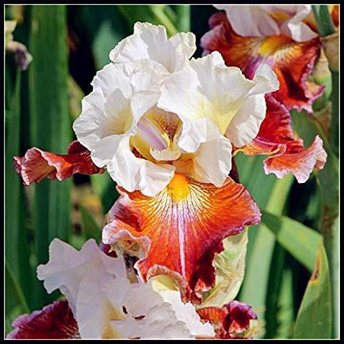 Iris Staude,Schwertlilie Pflanze,Planzen,Schöne Blumen Sind So Schön Wie Feuer-Gelb Orange,4 Zwiebeln