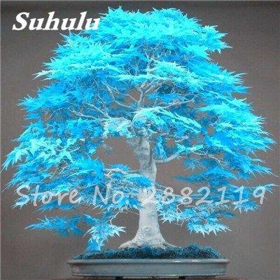 Rare bleu japonais samares 30 Pcs Bonsaï Plantes de costume Pot pour plantes Jardin Bricolage & Balcon Absorber Formaldéhyde 7
