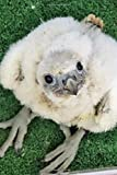 Baby Gyr Falcon Chick Bird of Prey Journal: Lined Notebook / Diary