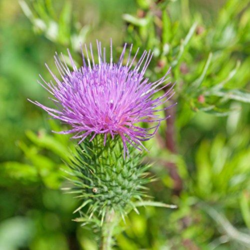 Mariendistel Silybium marianum 200 Samen