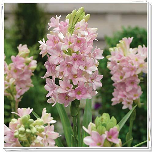Tuberose zwiebeln,Es gibt große RegenbogenfGöttinnen Blumen im Hof-1,7zwiebelnS