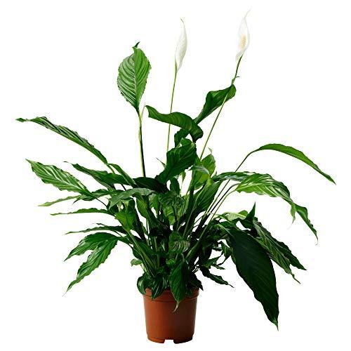 IKEA 001.979.02 Spathiphyllum Planta en Maceta, Lily de la Paz