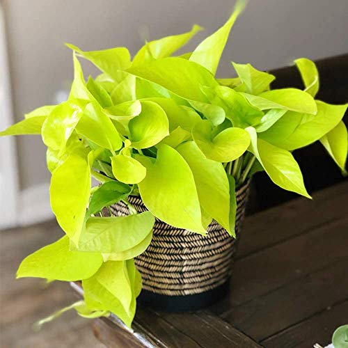 """American Plant Exchange Neon Pothos Easy Care Real Live Plant, 6"""" Pot, Top Indoor Air Purifier"""