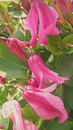Waldrebe Clematis integrifolia 'Aljonushka' - 100cm Topf gewachsen