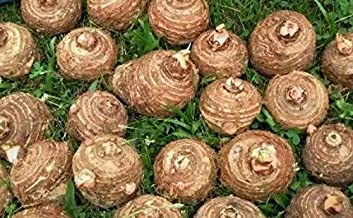 SOPHISTICATE Organic Seeds: 6 Bulbs Colocasia esculenta, Green Taro, cocoyam, Taro, Elephant Ears Bulbs