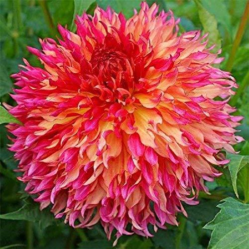 GETSO 2 Pcs Dahlia Birnen Bonsai Blütenpflanzen Dahlienknollen Iris Blumenzwiebel Clumps Flores
