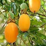 """「一番おいしいNO.1パッションフルーツ""""ミズレモンの苗""""(トケイソウ・ラウリフォリア) 9cmポット苗 お買い得2個セット」トケイソウ科、トケイソウ属のつる性植物で、ミズレモンはトケイソウの仲間の中で最もおいしい実と言われています!!英名:Water Lemon 黄色く熟した実をレモンに見立てた名前です。名前とは逆に、果実は大変甘く、ほとんど酸味を感じません。なるべく蔓を長く伸ばし、開花を促すと、春から秋まで長期間開花します。自家不和合性のため、異なる株の花粉を人工授粉させて結実させます。2株セットですので、2株とも開花したら花粉を別の株の雌しべにつけてください。受粉後、40~45日程度で収穫できます。沖縄などの温暖地以外は鉢植えでの管理をお勧めします。冬期は枝を切り戻し、室内などでの管理をお勧めします。自社農場から新鮮出荷!!【ポット苗なのでほぼ年中植付け可能!!即出荷!!】"""