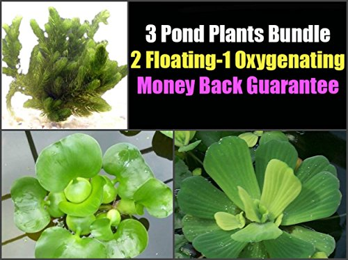 3 Pond Plants Bundle - Water Lettuce, Water Hyancinth and Hornwort