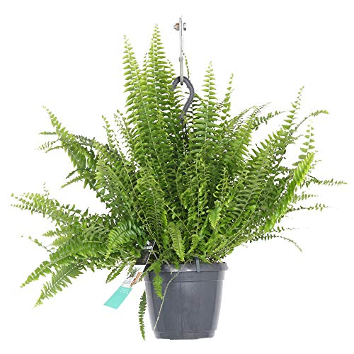 Nephrolepis exaltata | luftreinigender Schwertfarn | exotische Urwaldpflanze | Lieferhöhe 40-45cm | Topfgröße Ø 18 cm