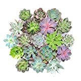 Plantas Suculentas Naturales Tipo Echeveria Lote de Plantas Crasas Naturales para Exterior e Interior (5)