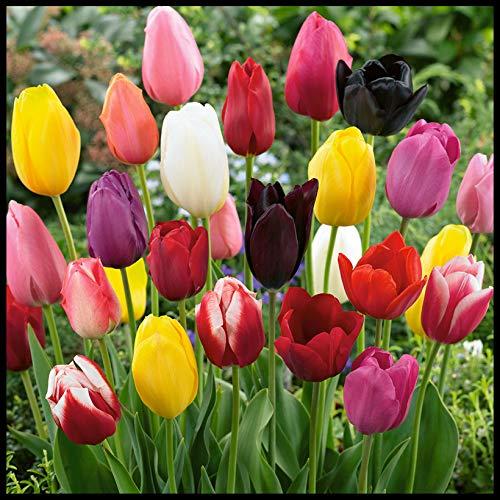 I tulipani simboleggiano l'amore eterno,Esotico,TulipaniBulbi,Di fama mondiale,Bulbi di tulipano per piantare,Prima scelta per i fiori recisi,Fiori da giardino-10 Lampadine,1