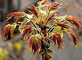 50 Chinese Toon Seeds Toona Sinensis Tree Seeds