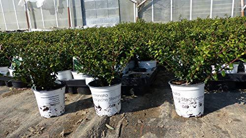 20 Stück Ilex crenata Stokes Heckenpflanze 20 cm Buchsbaum Ersatz winterhart + robust