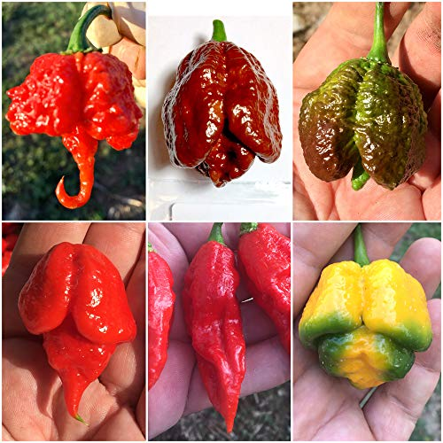 HABANERO TABASCO etc 120 Samen CHILI KOLL 1: CAROLINA REAPER RED unt YELLOW