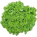 qianren semi di lattuga verde 1000 pezzi di semi di ortaggi da insalata per piantare, semi a crescita rapida con teneri fogli sfusi/buttercrunch, pianta le tue verdure