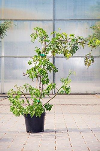 Brombeere Thornless Evergreen, 30-40 cm, Beerenobst Pflanze, Strauch für Sonne-Halbschatten, Obststrauch winterhart & mehrjährig, Rubus fruticosa, im Topf