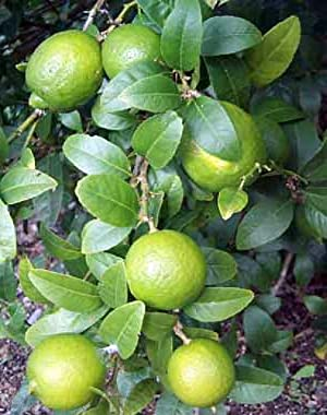 """Hirt's Key Lime Tree + Certificate - 6"""" Pot - NO SHIP TX,FL,AZ,CA,LA,HI"""