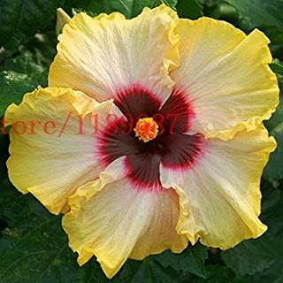 GEOPONICS 6: 200 PCS Seeds Hardy,rare home for DIY Garden potted or yard seed best gift for girl kid 6