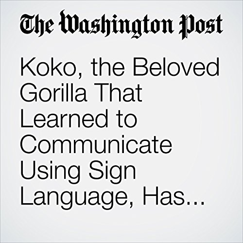 Koko, the Beloved Gorilla That Learned to Communicate Using Sign Language, Has Died audiobook cover art