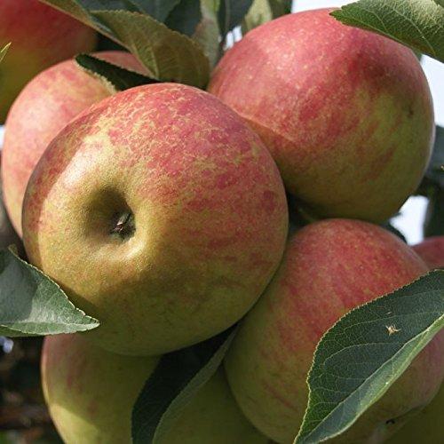 Müllers Grüner Garten Shop Apfelbaum Elstar zweijähriger kräftiger Obstbaum Buschbaum Apfel Malus 150-170 cm 10 Liter Topf M7