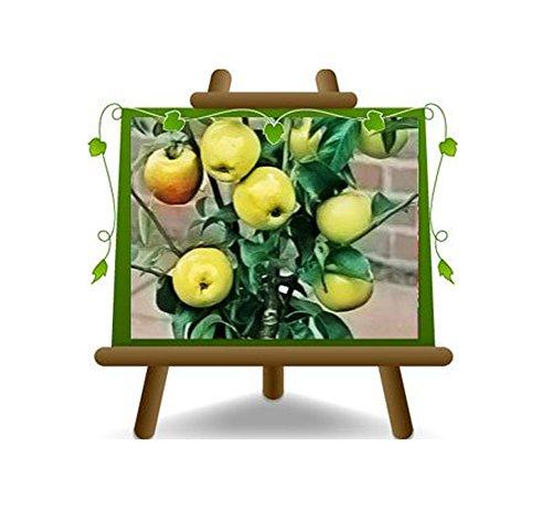 pommier arbre nain plante fruitière vieux sur un pot de 26 - max 100 cm - 4 ans