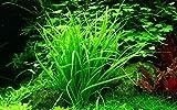 Tropica Aquarium Pflanze Helanthium tenellum 'Green Nr.067A TC in...