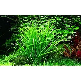 Tropica Aquarium Pflanze Helanthium tenellum Green