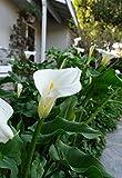 Calla Lilies Aethiopica White Giant - 3 large bulbs - 15+ cm bulb