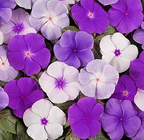 100+ Mixed Rosea Vinca Periwinkle Seeds Dwarf Flower Balcony Perennail Garden