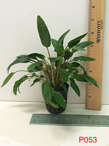 Cryptocoryne wendtii green - Potted Live Aquatic Plant P053 - Buy 2 GET 1 FREE