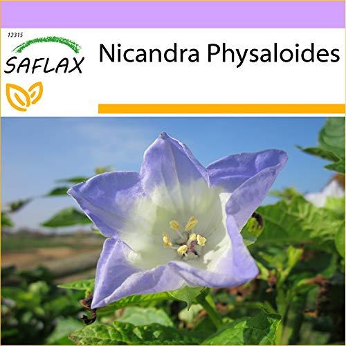 SAFLAX - Blaue Lampionblume - 100 Samen - Nicandra physaloides