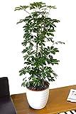 """Zimmerpflanze für Wohnraum oder Büro – Schefflera arborea """"Nora Green"""" – Kleine Strahlenaralie, 1,0m"""
