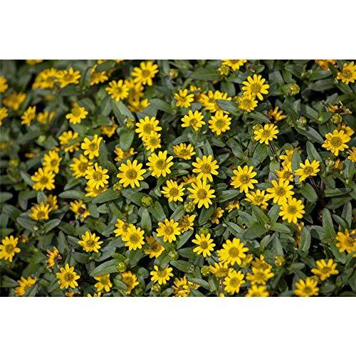 Sanvitalia, Aztekengold, Husarenknopf - im Topf 11 cm, in Gärtnerqualität von Blumen Eber - 6 Töpfe a 11 cm