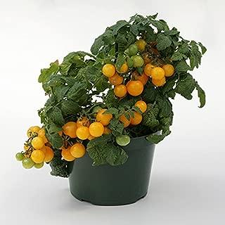 Tomato - Sweet n Neat Yellow - 10 Seeds