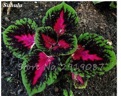 Janpanse Bonsai coleus Graines 50 Pcs Plantes feuillage couleur parfait arc Graines Belle Mixed Flower Garden plante Sement 19