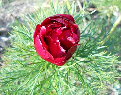 gefüllte Farnblatt-Pfingstrose für Ihren Garten: Paeonia tenuifolia rubra plena, ungeteilte Pflanze