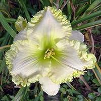 白いカンゾウ球根優雅な庭の装飾天然観賞植物ホームプラント,10カンゾウ球根