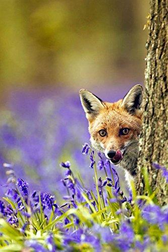 Tier-Postkarten - Tiere aus Deutschland (Füchse):