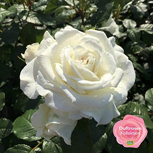 Kölle's Beste! Duftende Beetrose 'Die Rose Ihrer Majestät'® (Beainesza) 6 lt. Topf