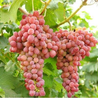 50 pcs/lot de raisin rouge doux Graines avancée Fruit graines croissance naturelle de raisin délicieux fruits jardinage plantes 1