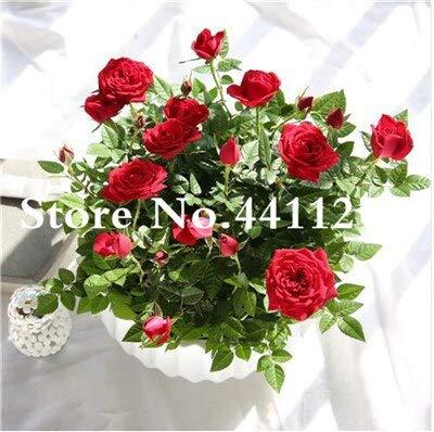 Kalash New 100pcs Rose Blumensamen für Garten Rot 1